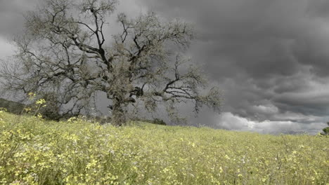 Rising-tracking-shot-of-a-storm-forming-over-a-valley-oak-tree-in-Ojai-California