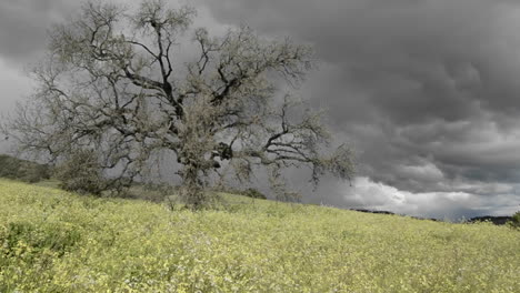 Down-tracking-shot-of-a-storm-forming-over-a-valley-oak-tree-in-Ojai-California