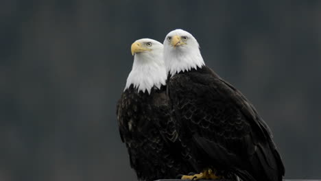 A-pair-of-bald-eagles-calling-while-perched-on-a-dock-piling-in-Juneau-Harbor-Alaska