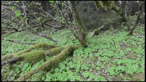 Panning-left-shot-Sitka-alder-roots-and-false-lilyofthevalley-in-the-forest-at-Pavlof-Harbor-in-Southeast-Alaska