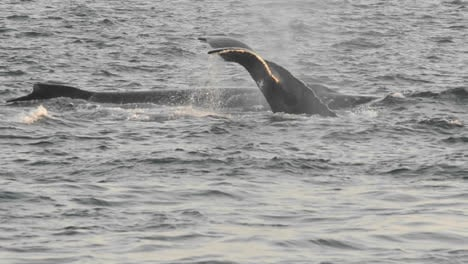 Humpback-whales-group-feeding-at-Point-Adolphus-in-Icy-Strait-in-Southeast-Alaska-1