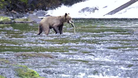 Brown-Bear-fishing-for-salmon-at-Pavlof-River-flowing-into-Freshwater-Bay-in-Pavlof-Harbor-on-Baranof-Island-in-Southeast-Alaska-2