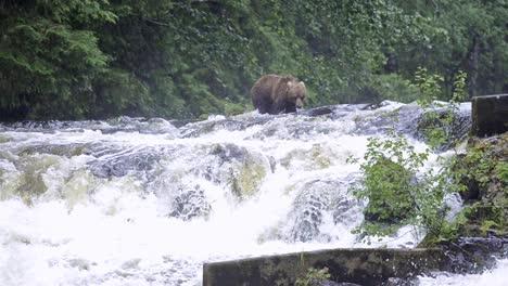 2020-A-brown-bear-walks-across-a-river