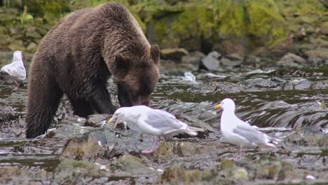 Brown-Bear-eating-a-salmon-at-Pavlof-River-flowing-into-Freshwater-Bay-in-Pavlof-Harbor-on-Baranof-Island-in-Southeast-Alaska
