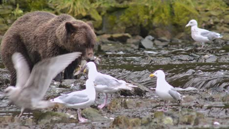 Brown-Bear-catching-a-salmon-at-Pavlof-River-flowing-into-Freshwater-Bay-in-Pavlof-Harbor-on-Baranof-Island-in-Southeast-Alaska-1