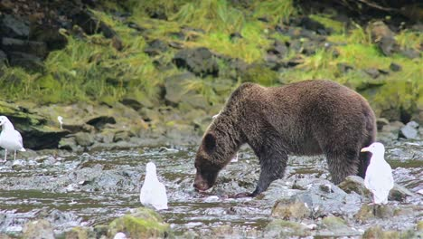 Brown-Bear-catching-a-salmon-at-Pavlof-River-flowing-into-Freshwater-Bay-in-Pavlof-Harbor-on-Baranof-Island-in-Southeast-Alaska-3
