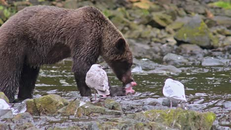 Brown-Bear-catching-a-salmon-at-Pavlof-River-flowing-into-Freshwater-Bay-in-Pavlof-Harbor-on-Baranof-Island-in-Southeast-Alaska-4
