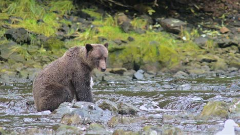 Brown-Bear-patiently-fishing-for-salmon-at-Pavlof-River-flowing-into-Freshwater-Bay-in-Pavlof-Harbor-on-Baranof-Island-in-Southeast-Alaska