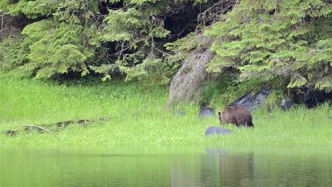 Un-Oso-Pardo-Pastando-En-La-Hierba-En-El-Lago-Eva-En-La-Isla-De-Baranof-En-El-Sureste-De-Alaska-1