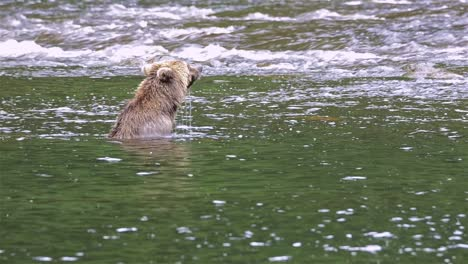 Brown-Bear-snorkeling-for-salmon-at-Pavlof-River-flowing-into-Freshwater-Bay-in-Pavlof-Harbor-on-Baranof-Island-in-Southeast-Alaska