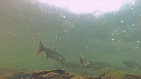 Underwater-salmon-and-fry-swimming-at-Lake-Eva-on-Baranof-Island-in-Alaska