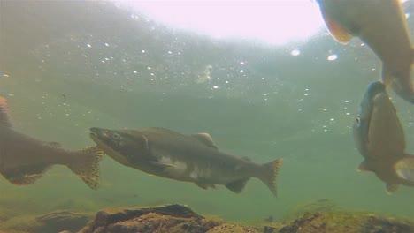 Underwater-school-of-salmon-and-fry-swimming-at-Lake-Eva-on-Baranof-Island-in-Alaska