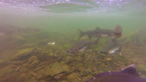 Underwater-school-of-salmon-and-trout-swimming-at-Lake-Eva-on-Baranof-Island-in-Alaska