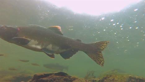 Underwater-under-a-salmon-swimming-at-Lake-Eva-on-Baranof-Island-in-Alaska