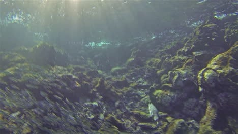 Underwater-footage-of-an-endemic-Galapagos-penguin-chasing-fish-at-Bartolome-on-Santiago-Island-in-Galapagos-National-Park-Ecuador