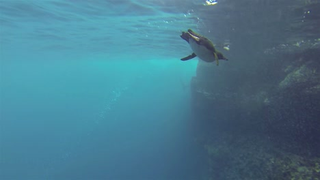 Underwater-footage-of-an-endemic-Galapagos-penguin-chasing-fish-at-Punta-Vicente-Roca-on-Isabela-Island-in-Galapagos-National-Park-Ecuador