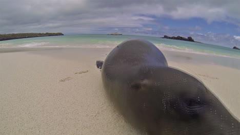 Galapagos-Sea-Lion-approaching-camera-in-Gardner-Bay-on-Espanola-Island-in-Galapagos-National-Park-Ecuador