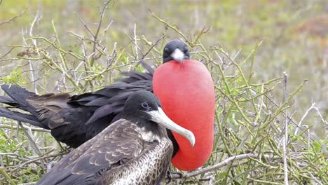 A-Magnificent-Frigatebird-Fregata-magnificens-displaying-his-gular-pouch-on-North-Seymour-Island-in-the-Galapagos-Islands-National-Park-and-Marine-Reserve-Ecuador