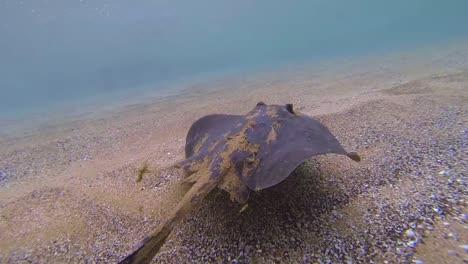 Underwater-of-a-swimming-diamond-stingray-Dasyatis-dipterura-in-Galapagos-National-Park-Ecuador-1