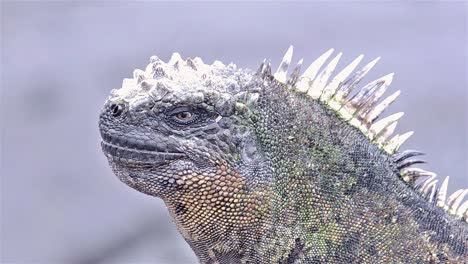 Marine-iguana-at-Punta-Espinoza-on-Fernandina-Island-in-the-Galapagos-Islands-National-Park-and-Marine-Reserve-Ecuador