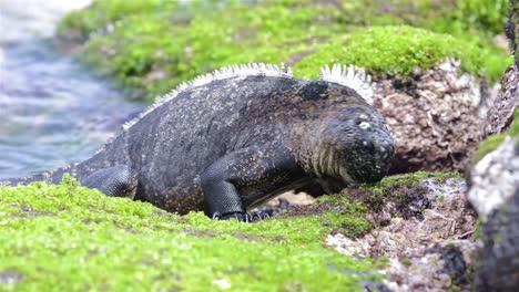 Marine-iguana-eating-algae-on-shore-at-Punta-Espinoza-on-Fernandina-Island-in-the-Galapagos-Islands-National-Park-and-Marine-Reserve-Ecuador