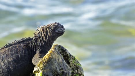 Marine-Iguana-Amblyrhynchus-cristatus-in-the-surf-on-Las-Bachas-on-Santa-Cruz-Island-in-the-Galapagos-National-Park-and-Marine-Reserve-Ecuador
