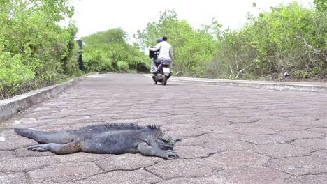 Motorbike-drives-by-a-sleeping-Marine-Iguana-on-the-road-while-motorbike-drives-by-in-Puerto-Ayora-on-Santa-Cruz-Island-Galapagos-Ecuador