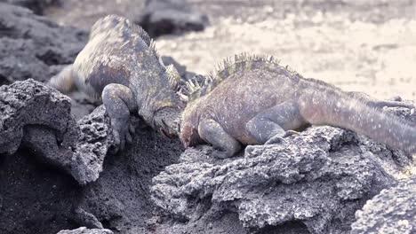 Dos-Iguanas-Marinas-Macho-Peleando-En-Punta-Espinosa-En-Isla-Fernandina-En-Galápagos-Ecuador