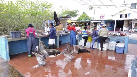 Galapagos-Sea-Lion-and-brown-pelicans-looking-for-handouts-at-the-fish-market-in-Puerto-Ayora-on-Santa-Cruz-Island-in-Galapagos-Ecuador