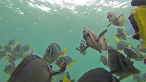 Imágenes-Submarinas-De-Un-Pez-Cirujano-Navaja-Y-Buceador-Frente-A-La-Isla-De-Santiago-En-El-Parque-Nacional-Galápagos-Ecuador