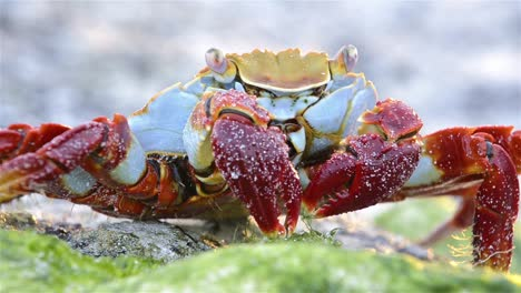 Closeup-of-a-Sally-Lightfoot-Crab-at-Punta-Espinoza-on-Fernandina-Island-in-the-Galapagos-Islands-Ecuador