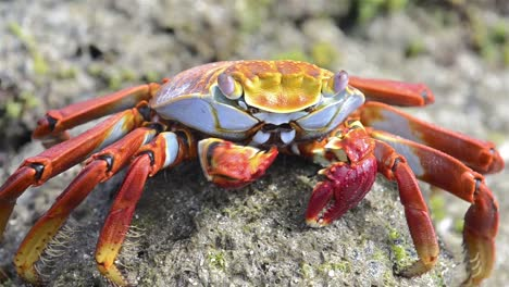 Closeup-of-a-Sally-Lightfoot-Crab-at-Punta-Espinoza-on-Fernandina-Island-in-the-Galapagos-Islands