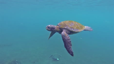 Underwater-of-Pacific-Green-Turtle-surfacing-at-Punta-Vicente-Roca-on-Isabela-Island-in-Galapagos-National-Park-Ecuador-1