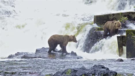 Dos-Osos-Pardos-Pescando-Salmón-En-El-Río-Pavlof-Que-Desemboca-En-La-Bahía-De-Agua-Dulce-En-El-Puerto-De-Pavlof-En-La-Isla-De-Baranof-En-El-Sureste-De-Alaska