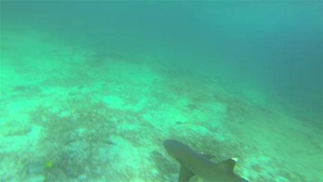 Whitetipped-shark-POV-swimming-off-Santiago-Island-in-Galapagos-National-Park-Ecuador