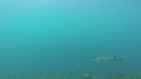Whitetipped-shark-POV-swimming-off-Rabida-Island-in-Galapagos-National-Park-Ecuador