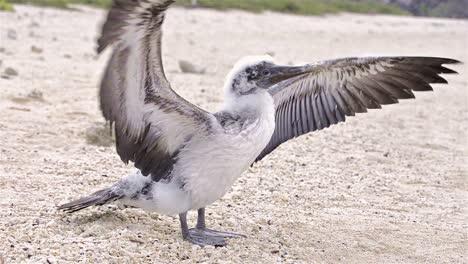Nazca-booby-Sula-granti-dactylatra-chick-trying-to-fly-on-Genovesa-Island-in-Galapagos-National-Park-and-Marine-Reserve-Ecuador