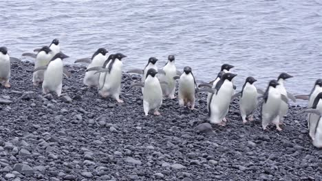 Adelie-Penguins-walking-down-the-beach-at-Brown-Bluff-in-Antarctica