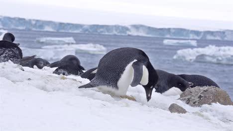 Adelie-Pinguin-Baut-Ein-Nest-Im-Schnee-Am-Brown-Bluff-In-Der-Antarktis