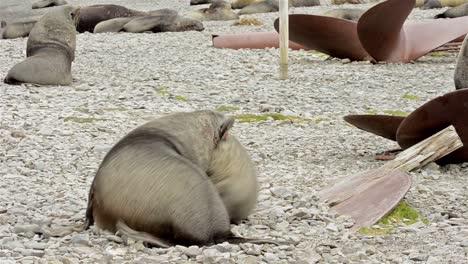 Male-Antarctic-fur-seal-Arctocephalus-gazella-fighting-at-Stromness-Harbour-on-South-Georgia-