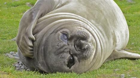 Female-southern-elephant-seal-scratching-fur-at-Salisbury-Plain-on-South-Georgia-Island-