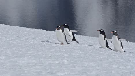 Gentoo-penguin-Pygoscellis-papua-walking-up-a-snow-steep-snow-field-on-Danco-Island-in-Antarctica-