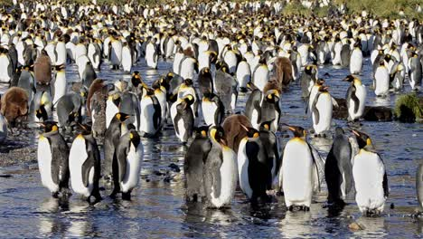 King-penguin-rookery-at-Gold-Harbour-on-South-Georgia