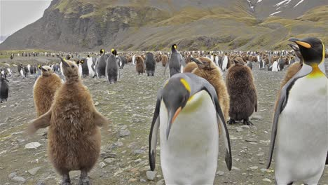 King-penguin-adult-and-chicks-looking-in-the-lens-at-Salisbury-Plain-on-South-Georgia-
