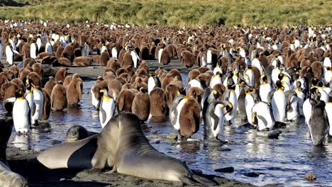 Southern-Elephant-seals-and-King-penguin-rookery-at-Gold-Harbour-on-South-Georgia