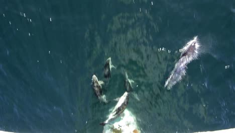 Peale-s-dolphins-bow-riding-near-Tierra-del-Fuego-in-South-America-