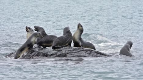 Young-Antarctic-fur-seals-playing-on-a-rock-at-Gold-Harbor-on-South-Georgia-