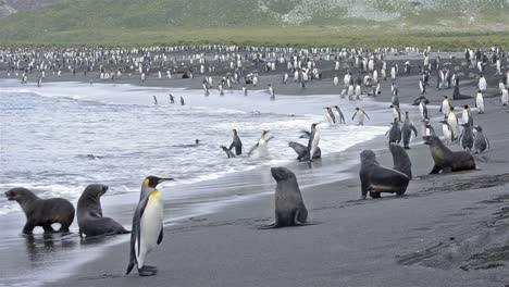 King-penguin-rookery-and-Antarctic-fur-seals-on-the-beach-at-Gold-Harbor-on-South-Georgia-