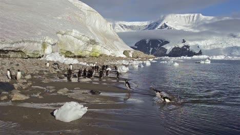 Gentoo-penguin-exiting-the-water-on-the-beach-at-Neko-Harbor-in-Antarctica-