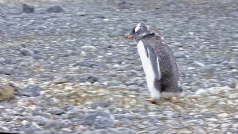 Gentoo-penguins-rock-stealing-and-nest-building-at-Brown-Bluff-in-Antarctica